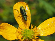 Green insect on yellow petal Stock Photos