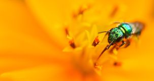Green insect on a yellow flower Stock Images