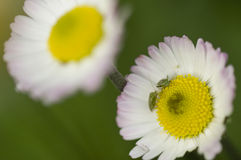Green insects on daisy flowers Royalty Free Stock Images