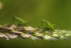 Green insects on plant. Side macro view of two green insects on plant Stock Image