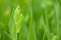 Green iris leaves Royalty Free Stock Photography