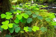 Green Irish clover leafs stock photos