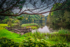 Green Irish lakeside. Swans swimming in a lake surrounded by Irish green royalty free stock images