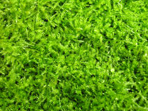 Green irish moss. A close-up shot of healthy green irish moss royalty free stock images