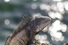 Green iguana on rocks royalty free stock photos