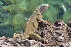Green iguana on rocks royalty free stock image