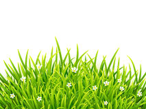 Green isolated grass with flowers on white. Green vector isolated grass with flowers on white background Royalty Free Stock Photo