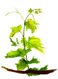 Green isolated sapling of grape royalty free illustration