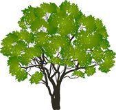 Green isolated tree with many branches Royalty Free Stock Images