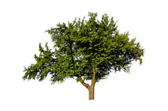 Green isolated tree Royalty Free Stock Image
