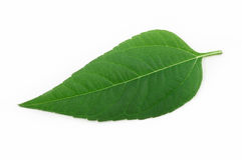 green isolerad leaf arkivbilder