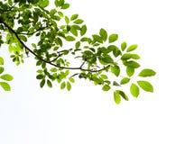 green isolerad leaf Arkivfoton