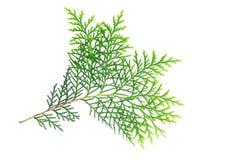 green isolerad leaf royaltyfria bilder