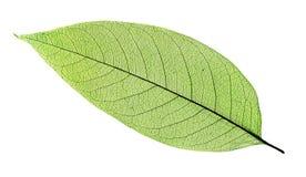 green isolerad leafwhite fotografering för bildbyråer