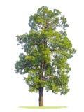 green isolerad treewhite Royaltyfria Bilder