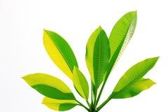 green isolerade leafs Arkivbild