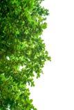 green isolerade leaves Fotografering för Bildbyråer