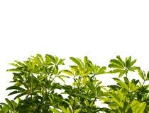 green isolerade leaves Arkivfoton