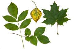 green isolerade leaves arkivbilder