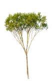green isolerade treen arkivbild
