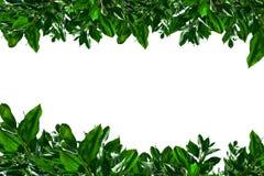green isolerade vita leaves Royaltyfri Fotografi