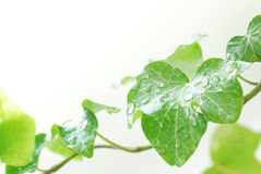 Green ivy Stock Images