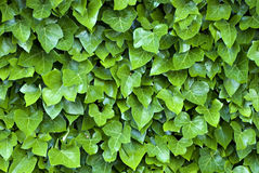 Green ivy. Closeup of green ivy, growing on a wall. Suitable for texture or background Stock Image