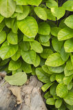 Green ivy Royalty Free Stock Images