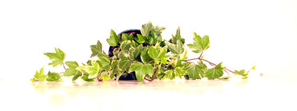 Green ivy 2. A house plant ivy on white background Stock Photography