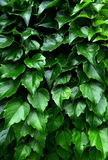 Green ivy. The curtain of green ivy Royalty Free Stock Photos