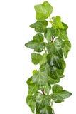 Green Ivy Royalty Free Stock Photos