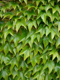 Green Ivy. A background of green ivy leaves Stock Photos