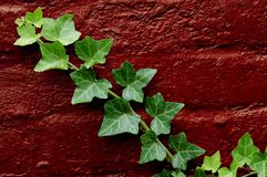 Green Ivy. Growing on a red brick wall royalty free stock images