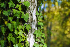 Green ivy. Branch in forest stock images
