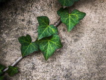 Green Ivy Against A Wall Stock Images