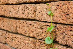 Green ivy alone on old red stone wall, grow up Stock Photos