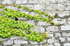 Green ivy on ancient castle wall Stock Images