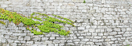 Green ivy on ancient castle wall Stock Photo