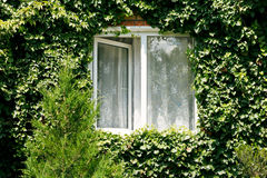Green ivy around new open window Stock Photos