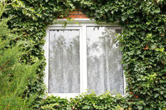 Green ivy around new window Royalty Free Stock Images