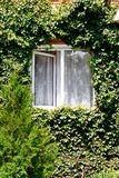 Green ivy around open window in rural house Royalty Free Stock Images
