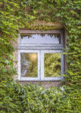 Green ivy around the window Royalty Free Stock Image
