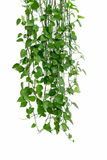 Green ivy arum on white wall