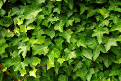 Green ivy background royalty free stock photo