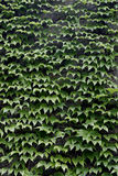 Green Ivy Background. A background of green ivy Royalty Free Stock Photography
