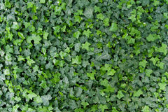 Green ivy background Royalty Free Stock Image