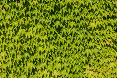 Green ivy. Background of green leaves of ivy on the wall Royalty Free Stock Photography