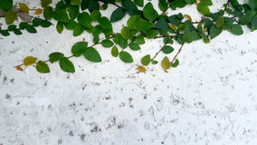 Green ivy on the background of old stucco wall Royalty Free Stock Image