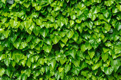 Green ivy background Royalty Free Stock Images