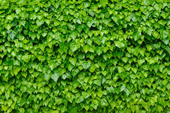 Green ivy background Stock Photo